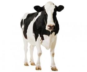 Furaj bovine negranulat