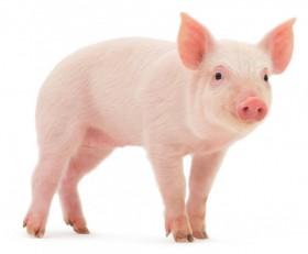 Furaj porcine granulat